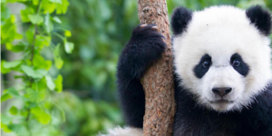 China's Latest Use for Facial Recognition: Identifying Pandas
