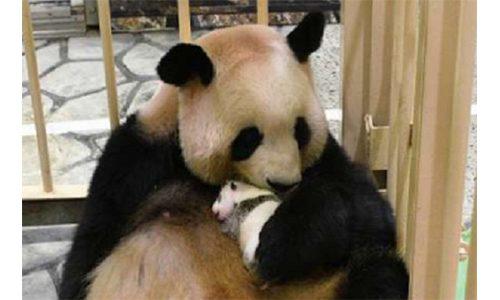 日本一家动物园邀请公众为它的新熊猫宝宝命名