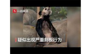 大熊猫在美国动物园瘦骨嶙峋,网友呼吁让其回国