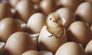"""河南一校长发论文称""""熟蛋能返生孵雏鸡""""引争议"""