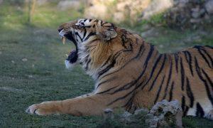 安徽一动物园饲养员遭老虎攻击死亡