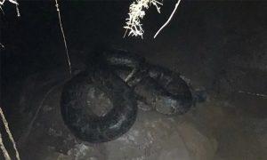 广西一农家乐惊现30公斤大蟒蛇,疑似吃掉200只鸡