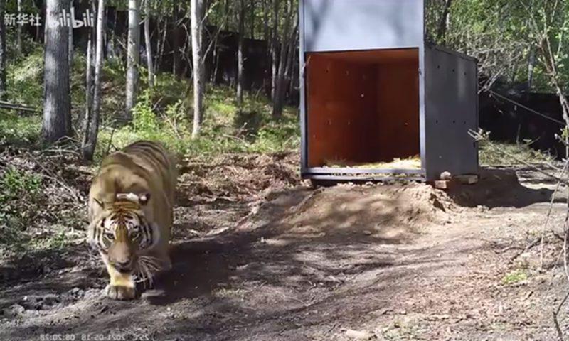 西伯利亚虎带着项圈被释放到野外,以监视其活动