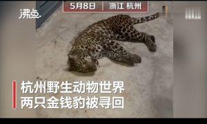 3只豹子外逃,动物园为何隐瞒不报?